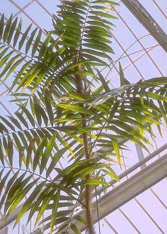 Ротанг - ротанговая пальма